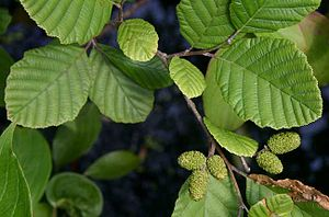 Alder - Speckled alder (Alnus incana subsp. rugosa)—leaves