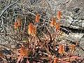 Aloe cameronii - Monte Branca 3 (10314199085).jpg