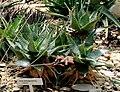 Aloe deltoideodonta Liberec 1.jpg