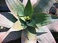 Aloe reynoldsii.jpg