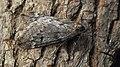 Alsophila aescularia ♂ - March moth (male) - Пяденица пушистая (самец) (32612375757).jpg