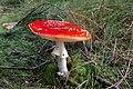 Amanita muscaria - Lindsey.jpg