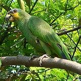 Amazona amazonica 2c.jpg