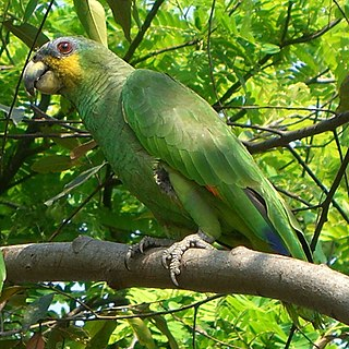 Amazon parrot Genus of birds