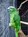 Amazona auropalliata -aviary-6.jpg