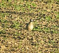 American Golden-Plover, Sand Lake, MI, September 14, 2012 (7987055828).jpg