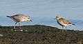 American Golden and Black-bellied Plovers, Immatures (3972945926).jpg
