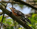 American Robin in tree at Marymoor Park.jpg
