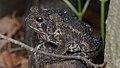 American Toad (Anaxyrus americanus) - Guelph, Ontario 04.jpg