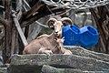 Ammotragus lervia Zoo Schönbrunn 2018 a.jpg