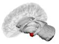 Amygdala - DK ATLAS.png
