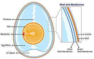 Eggshell - Image: Anatomy of an egg labeled