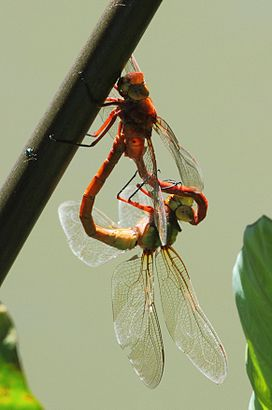 Anax speratus Orange Emperor 2013 04 07.jpg