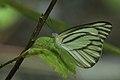 Andaman76 striped albatross (7999668424).jpg