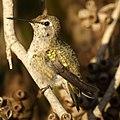 Anna's Hummingbird (4631274687).jpg