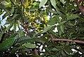 Annona squamosa 3zz.jpg