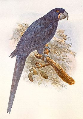 Rotschillernder Blauara (Anodorhynchus purpurascens) Abb. aus Extinct Birds/Rothschild
