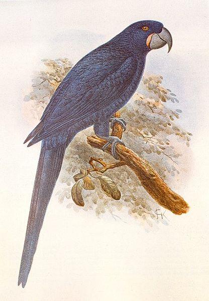 416px-Anodorhynchus_purpuracens.jpg