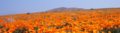 AntelopeValleyPoppyReserve 2008 05 04 a low res.png