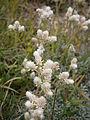 Antennaria dioica 002.jpg