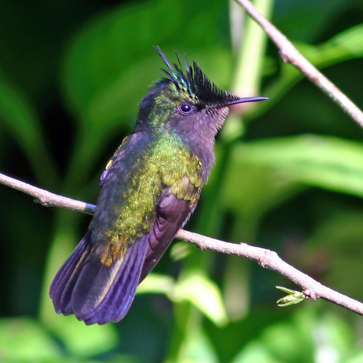List of hummingbirds - Wikipedia Hummingbird Wiring Diagram Model on cabinet model, ford model, system model, battery model, motor model, honda model, engine model, parts model,