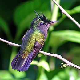 Antillean crested hummingbird.jpg