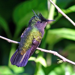 Antillean crested hummingbird - Antillean crested hummingbird in Morne Diablotins National Park, Dominica
