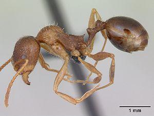 Präparierte Aphaenogaster subterranea -Arbeiterin