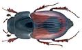 Aphodius (Biralus) satellitius (Herbst, 1789) (15305545652).png