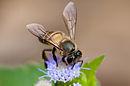 Apis cerana, Asiatic honey bee - Khao Yai National Park.jpg