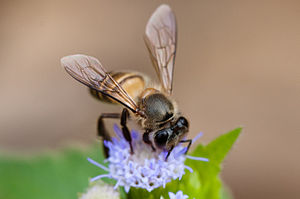 Apis cerana - Asiatic honey bee - Khao Yai National Park, Thailand
