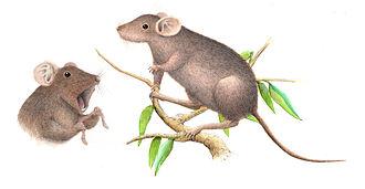 Apomys - Large Mindoro forest mouse (Apomys gracilirostris)