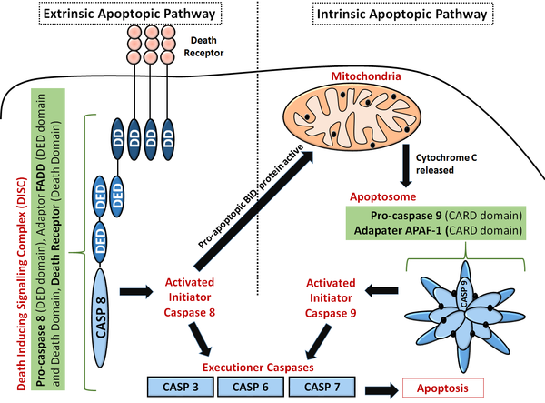 Initiator caspases are activated by intrinsic and extrinsic apoptopic pathways. This leads to the activation of other caspases including executioner caspases that carry out apoptosis by cleaving cellular components.