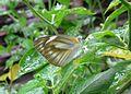 Appias libythea betina.jpg