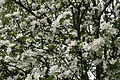 Apple-tree-spring-blooms - West Virginia - ForestWander.jpg