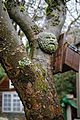 Apple tree trunk and Green Man ornament in Nuthurst, West Sussex, England.jpg