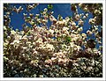 April Kirsch Blüte - Master Seasons Rhine Valley 2013 cherry blossom - panoramio (4).jpg