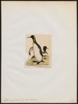 Aptenodytes forsteri - 1845-1863 - Print - Iconographia Zoologica - Special Collections University of Amsterdam - UBA01 IZ17800257.tif