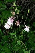 Aquilegia vulgaris20200610 16888.jpg
