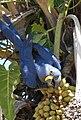 Arara azul palmeira.JPG