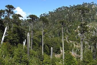 Araucaria Forest (3440545832)