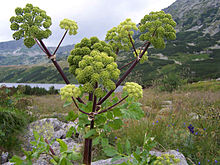 Archangelica officinalis a2.jpg