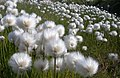 Arctic Cotton Grass (2676604422).jpg