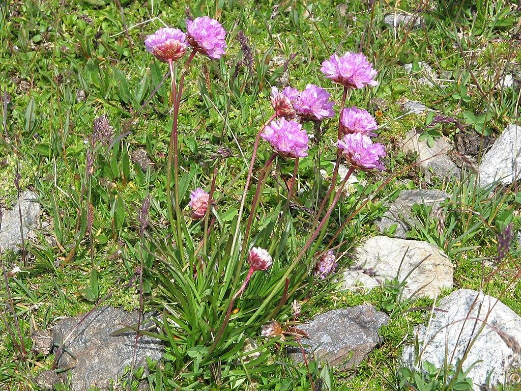 Trávnička alpínska (lat. Armeria alpina)