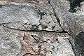 Arnhemland Dtella (Gehyra pamela) (8691421109).jpg
