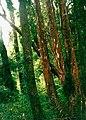 Arrayán (Luma apiculata).jpg