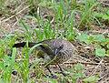 Arrow-marked Babbler (Turdoides jardineii) (12882858503).jpg