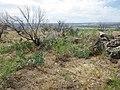 Artemisia dracunculus (post burn sagebrush steppe) (9765030273).jpg