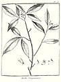 Aruba guianensis Aublet 1775 pl 115.jpg