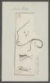Ascaris turdi - - Print - Iconographia Zoologica - Special Collections University of Amsterdam - UBAINV0274 104 03 0016.tif